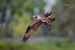 Osprey with Gizzard Shad (Mike Veltri) Tags: birds avian flight gizzardshad osprey 600mm may 2017 ontario canada