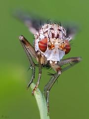 RedEyes (pen3.de) Tags: penf zuiko 60mmmakro wildlife natur tier insekt fliege hornfliege roteaugen punkte fühler langebeine grashalm macro details naturlicht wiese focusbkt