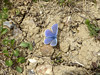 Common Blue - Polyommatus icarus - Howe Park Wood 28May17 a (kerrydavidtaylor) Tags: lepidoptera lycaenidae polyommatini butterfly butterflies