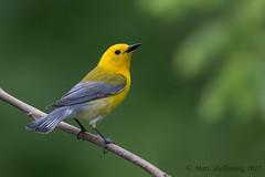 Prothonotary Warbler (Matt Shellenberg) Tags: prothonotary warbler bird yellow prothonotarywarbler