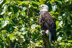 Eagle (mjeedelbr) Tags: eagle