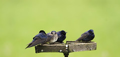 The Purple Martin (danstambaugh) Tags: martin purple audubon pa farm nature birding birdwatching