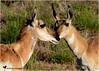 STAND BY ME ... (Aspenbreeze) Tags: pronghorn antelope ewepronghorn femalepronghorn nature wildlife wildanimal animal coloradowildlife wyomingwildlife bevzuerlein country prairie rural moonandbackphotography