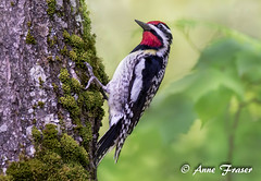 Yellow-bellied Sapsucker (Anne Marie Fraser) Tags: bird yellow bellied sapsucker yellowbelliedsapsucker woodpecker moss nature wildlife tree red