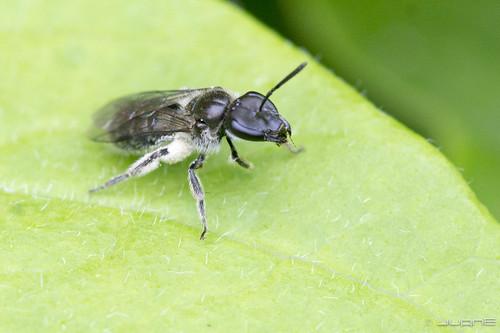 lasioglossum sp.??