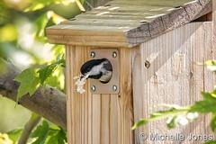 May 28, 2017 - Chickadees setup home in Thornton. (Michelle Jones)