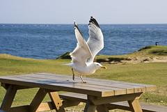 Ready to take off (Maxbauer) Tags: portlandbill dorset grosbritannien möwe start readytotakeoff takeoff