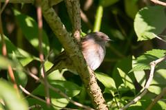 Dunnock (Prunella modularis) bird perched on branch (Ian Redding) Tags: accentors british dunnock european prunellamodularis prunellidae uk bird branch bushes fauna nature perched sitting songbird wildlife