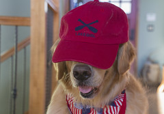 """My dog, incognito!-52 Weeks for Dogs challenge #5 -""""Red"""" (Exdeltalady) Tags: 52weeksfordogs challenge red golden goldenretriever patriotic atticus pet canine mansbestfriend incognito"""