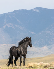 Black Beauty (chad.hanson) Tags: wildlife wyoming mustangs wildhorses greenmountainhma