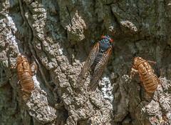 Periodical Cicada (Magicicada septendecula) Brood X precursors (DIN0269) (Gerry Gantt Photography) Tags: nature naturephoto insect hemiptera cicadidae cicadafamily periodicalcicada magicicadaseptendecula fairfaxvilla fairfax virginia fairfaxvillafairfax usa