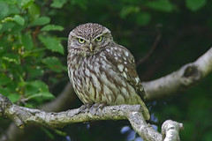 Little Owl 1...Yorkshire (Scuba`Steve`) Tags: