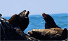BACK OFF ... this is my rock. (Aspenbreeze) Tags: selas harborseal blackseal seaslbarking barkingseal california pacificocean ocean sealife wildlife wildanimal nature calaifornia californiawildlife bevzuerlein aspenbreeze moonandbackphotography
