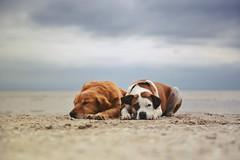 5/12 Edgar & Albert resting (Jutta Bauer) Tags: 12monthsfordogs 12monthsforedgarandalbert beach 0512 may spring dogs goldenretriever boxermix pitbullmix bokeh