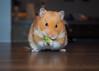 Monty Loves Avocado (.annajane) Tags: hamster monty pet cute avocado syrianhamster mesocricetusauratus