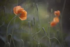 fallen from grace (Lamson**NG) Tags: poppies orange bokeh nightfall fallfromgrace lamson spring letitfall rise