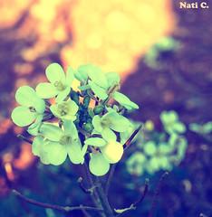 Ramo de florecillas 2 (Nati C.) Tags: catalunya barcelona corródavall flores blancas ramo naturaleza nik ink