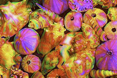 Tie Dyed Shells (joegeraci364) Tags: labs topaz animal art artistic beach center circle coast color conch decay design erosion image nature ocean photography print sea seashell shape shell shore skeleton spiral swirl water white