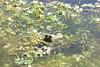 Bufo bufo y Ranunculus aquatilis