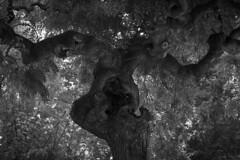 El árbol (seguicollar) Tags: árbol tree branch leaves formas humanoide nature naturaleza nikond7200 blancoynegro blackandwhite virginiaseguí vegetal vegetación planta