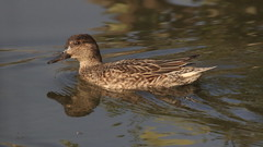 Common Teal (Female)