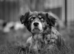 Blue (piano62) Tags: dogs dogrescue canineretinalatrophy cataracts love unconditionallove sweetheart tranquility portrait