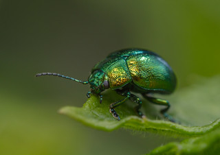 Mint Leaf Beetle (Chrysolina herbacea)