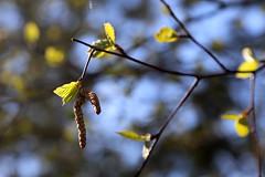 IMG_0496 (Бесплатный фотобанк) Tags: подмосковье московскаяобласть подмосковныйпейзаж весна солнце лес дерево почки россия москва
