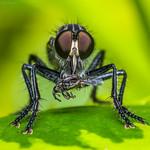 Asilidae / Robberfly / Mosca asesina thumbnail
