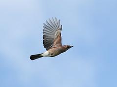 Flemish Guy Says Hi (Ger Bosma) Tags: 2mg231088filtered2 vlaamsegaai gaai garrulusglandarius eurasianjay jay eichelhäher geaideschênes arrendajo gayo ghiandaia inflight fight wings airborne fast closeup