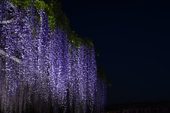 Purple Rain (k-o-m-a-n-e-k-o) Tags: nikon d750 wisteria spring festival light night hill fujioka gunma japan shadow reverse purple rain plant 藤 祭り 植物 影 ライトアップ 丘 藤岡 群馬 紫 雨