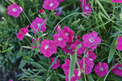 "Petunias 1 • <a style=""font-size:0.8em;"" href=""http://www.flickr.com/photos/66547006@N06/34887996610/"" target=""_blank"">View on Flickr</a>"