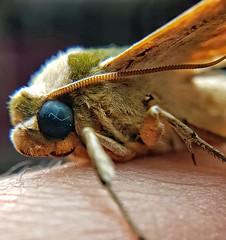 Mariposa😊 (Paulo Mattes) Tags: natgeo naturelovers natureza nature mariposa moth butterfly borboletas borboleta brazil brasil bruxa br macro closeup close