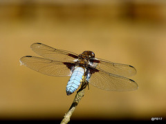 Broad-bodied Chaser. (m) (postman.pete) Tags: wicked weasel hwcp lumix macro may spring tit bright fleur bee bicycle chips classic flickr leica pentax seaside florida fly fire stars bay windows sport south painting india flag kids nyc newyork children photoshop friends lines lady asia ford colorful duck hat colours selfie farm australia mirror wales spider auto canada mono evening sunlight italia blur cloudy design wickedweasel