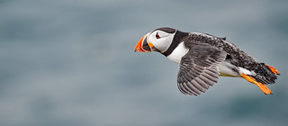 Puffin Fly By....