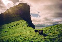 Black sheep - Faroe Islands (@PAkDocK / www.pakdock.com) Tags: adventure cliff clouds faroe faroese feroe grass grassland green island islands islas lake landmark landscape nature ocean outdoor outdoors pakdock panorama panoramic planet scotland sea sunny travel village wanderlust landscapes sheep kalsoy føroyar black sky light sun trip