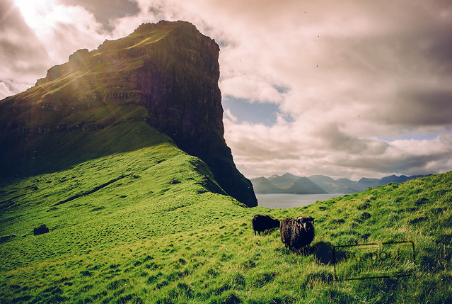 Black sheep - Faroe Islands