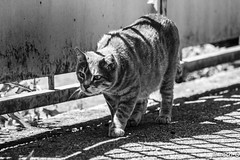 chat en chasse (Yappa problm) Tags: cat wild wildlife chat chasse noiretblanc bw nature animal