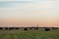Kankakee Sands © Jason Whalen/Big Foot Media (JWhalenPhotography) Tags: 2017 bigfootmedia bison indiana jasonwhalen kankakee kankakeesands nature spring prairie sunrise