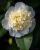 Cream Fuffle (Jocey K) Tags: southisland newzealand nikond750 christchurch monavale flowers camellia