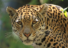 jaguar Rica Artis BB2A1527 (j.a.kok) Tags: jaguar pantheraonca kat cat mammal zoogdier dier animal zuidamerika southamerica rica predator