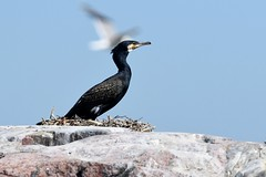 Phalacrocorax carbo (kaius.artimo) Tags: phalacrocoraxcarbo merimetso kirkkonummi breeding nest paintedrocks greatcormorant nestingcolony