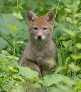 Eastern coyote pup