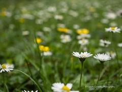 Clyne Gardens 2017 06 01 #14 (Gareth Lovering Photography 3,000,594 views.) Tags: clyne clyneinbloom botanical gardens flowers macro swansea olympus omdem10ii 30mm 30mmmacro garethloveringphotography