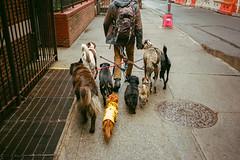 (Levi Mandel (@levimandel)) Tags: 35mm film scan noise newyorkcity manhattan gothamist dogpack walk city dogwalker
