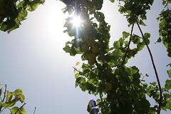 Fruits growing (Jiyan Foundation) Tags: jiyan foundation humanrights chamchamal iraq irak garden therapy psychotherapy rehabilitation sunlight fruits tree healinggarden kurdistan