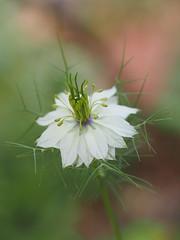 ニゲラ (Polotaro) Tags: mzuikodigital45mmf18 flower nature olympus epm2 pen 花 自然 オリンパス ペン ニゲラ 庭 garden 5月