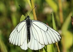 Aporia crataegi (Ramunė Vakarė) Tags: aporiacrataegi pieridae lepidoptera nature morning blackveinedwhite lithuania eičiai ramunėvakarė
