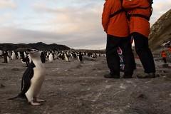 Chinstrap Penguins, Bailey Head, Antarctica (Scott Ableman) Tags: shetlandislands baileyhead chinstrappenguins chinstrappenguin chinstrap penguin nationalgeographicexpeditions lindbladexpeditions nationalgeographicorion antarctica parkas orange orangeparka