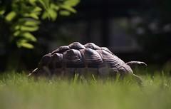 DSC01063 (albini.valerio) Tags: tartaruga tortoise green verde natura rettile reptile
